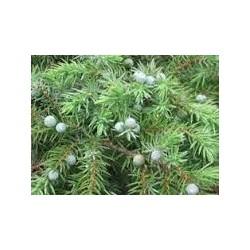 Хвойна стелеща (Juniperus chlager)