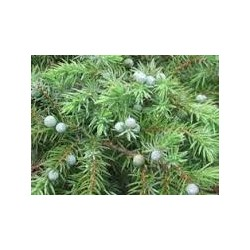 Хвойна (Juniperus chlager)