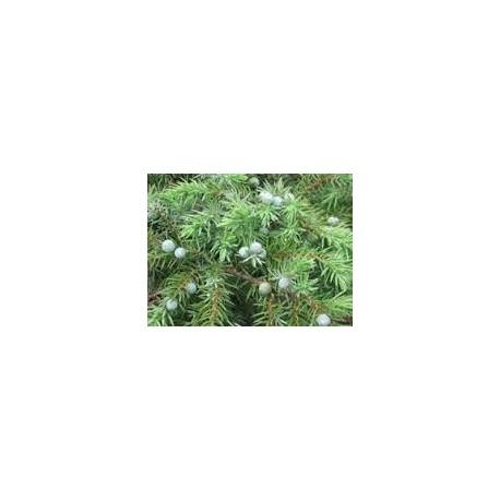 Хвойна (Juniperus conferta)