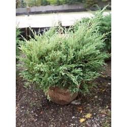 Хвойна (Juniperus 'Hetzii')