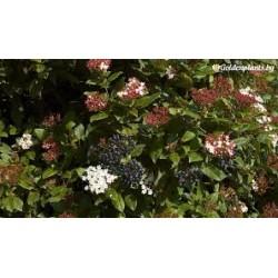 Синя калина (Viburnum tinus)