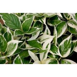 Пъстра Мирта (Myrtus communis variegata)
