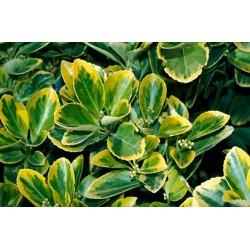 Евонимус-Японски чашкодрян (Euonymus japonicus 'Aureo Marginata' )