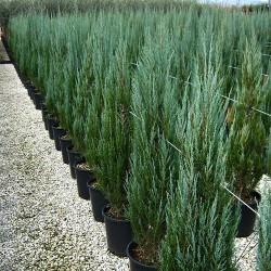 Хвойна изправена (Juniperus scopulorum 'Skyrocket')