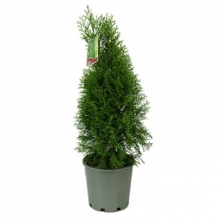Туя смарагд (Thuja occidentalis 'Smaragd')