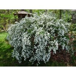 Спирея, Майски сняг (Spiraea x vanhouttei)