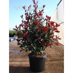 Фотиния  мини (Photinia Little'Red Robin')
