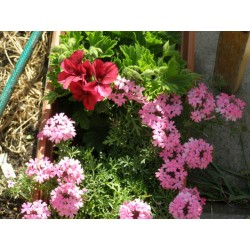 Зелена лилия -хлорофитум(Hlorofitum comosum)-висяща саксия