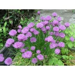Лучена трева , Шивес (Allium schoenoprasum)