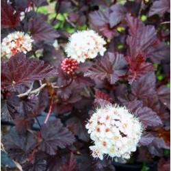 Физокарпус червен (Physocarpus opulifolius 'Diablo')