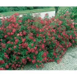 Спирея японика  (Spiraea japonica 'Dart's Red')