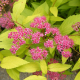 Спирея японика  златиста(Spiraea japonica  golden princes)
