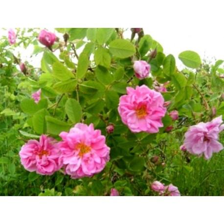 Маслодайнa роза - гюл( Roza damascena)