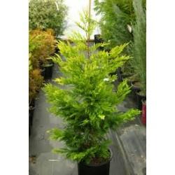 Кипарис Лейланди (Cupressocyparis leylandii)
