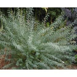 Червена върба, Ракита (Salix purpurea)