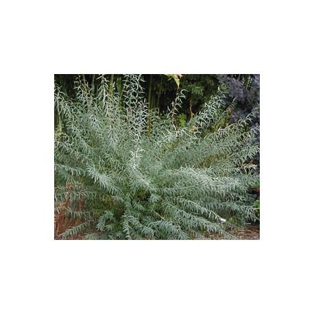 плачеща обикновена върба(Salix babylonica)