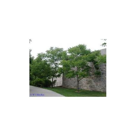 Кафеено дърво(Gymnonocladus dioicus)