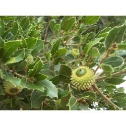 Вечнозелен дъб, Пърнар (Quercus coccifera)