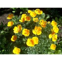 Ешолция, Калифорнийски мак( Eschscholzia californica)