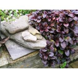 Аюга, Срещниче (Ajuga reptans purpurea)