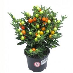 Соланум, Коледна череша (Solanum pseudocapsicum)