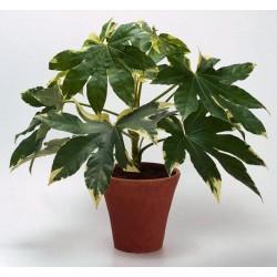 Японска фатсия, Аралия (Fatsia japonica)
