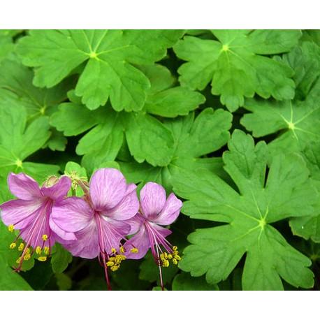Здравец  -( Geranium Macrrorhizium)