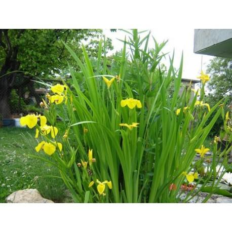 Блатен ирис-( Iris pseudacorus)