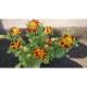 Мимулус-Клоунско цвете ( Mimulus aurantiacus)