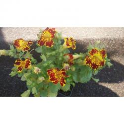 Мимулус, Клоунско цвете (Mimulus aurantiacus)