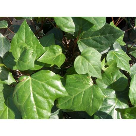 Едро листен бръшлян(Hedera canariensis )