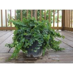 Фикус Пумила - стелещ (Ficus pumila)