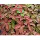 Обикновенна Дива лоза (Partenocisus quinquefolia)