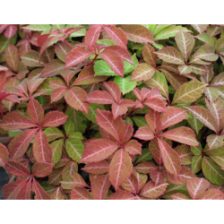Обикновенна Дива лоза Партеноцисус (Partenocisus quinquefolia)