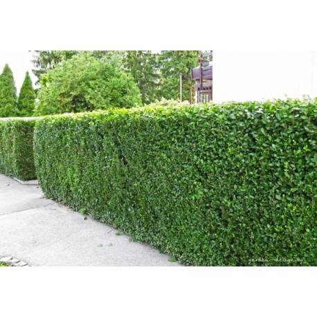 Лигуструм - жив плет,птиче грозде(Ligustrum ovalifolia)