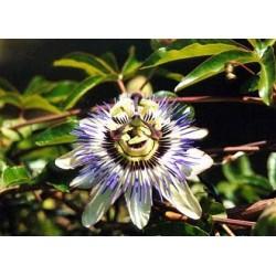 Пасифлора - часовник (Passiflora)