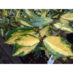 Елеагнус ('Elaeagnus pungens variegata')