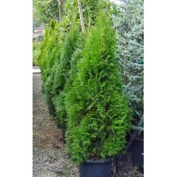 Туя колона (Thuja occidentalis 'Malonyana')