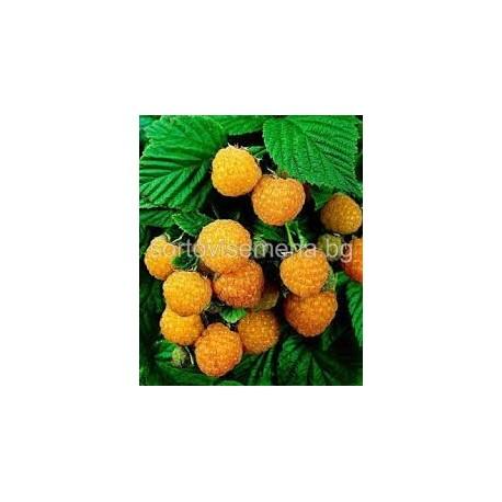 Малина (Rubus idaeus)
