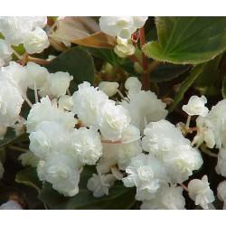 Бегония кичеста  (Begonia wariegata.)