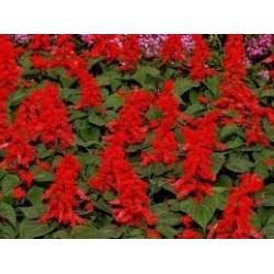 Пламъче (Salvia Vista Red)