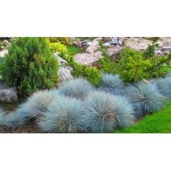 Синя трева_Декоративни треви (Festuca glauca)