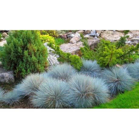 Синя трева (Festuca glauca)