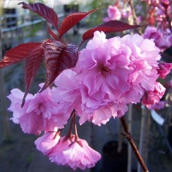 Японска вишна (Prunus serr. Royal Burgundy)