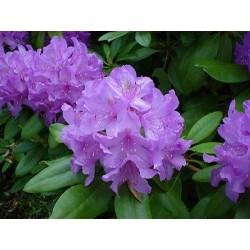 Рододендрон - различни цветове (Rhododendron Grandiflorum)