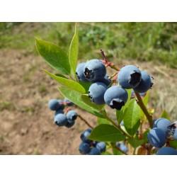 Боровинка синя едроплодна (Vaccinium  corymbosum)