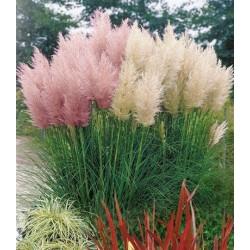 Пампаска трева, Кортадерия .Декоративни треви (Cortadaria selloana)