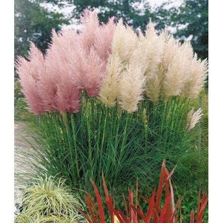 Пампаска трева -Cortadaria selloana