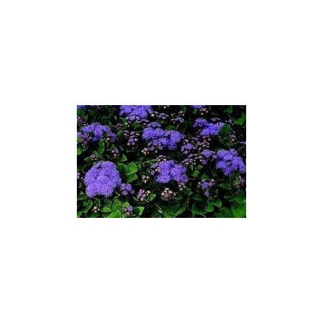Агератум (Ageratum fields blue)