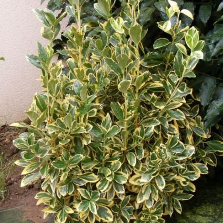 Евонимус вариегата (Еuonymus japonica Bravo))